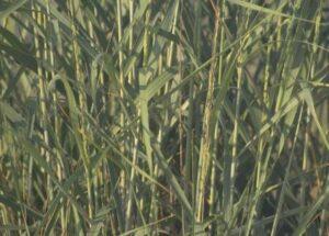 Arsenic in orgranic rice