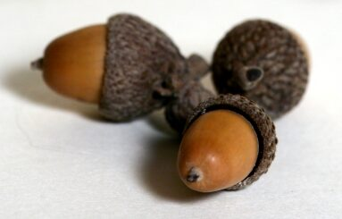 Acorns are antibacterial