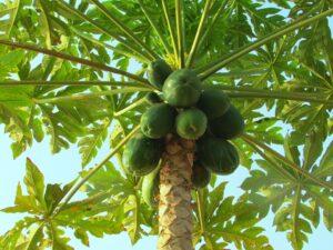 Fermented papaya's boost immunity.