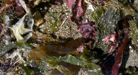 seaweeds and periodontal disease