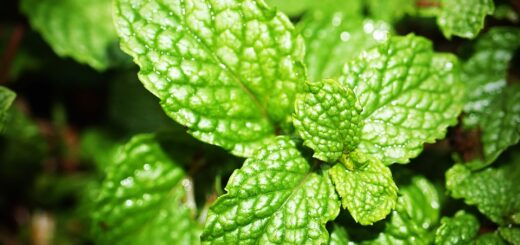 new peppermint oil eases IBS better