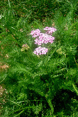Yarrow treats malaria and nitrates and kidney stones