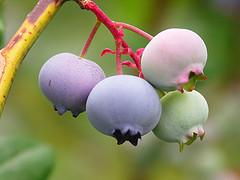 blueberries DNA damage antioxidant