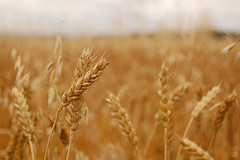 fermented wheat extract treats cancer