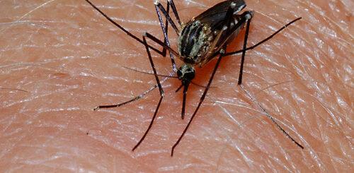 artemnisia (wormwood) for dengue fever