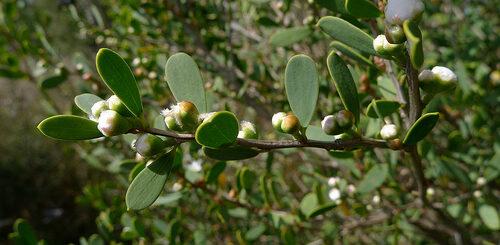tea tree oil is antiseptic