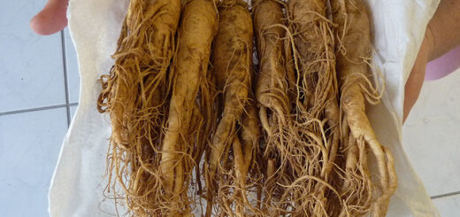 fermented red ginseng