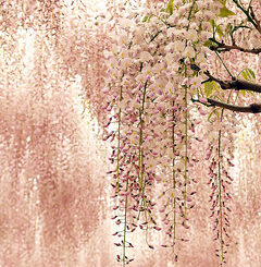 wisteria selectively binds to skin cancer cells