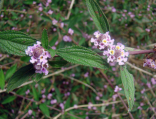 Lippia species inhibit gum disease bacteria
