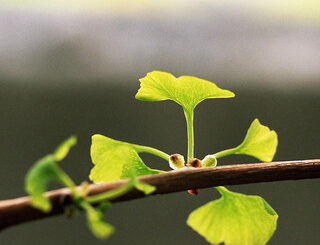 ginkgo and ADHD