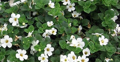 Bacopa boosts memory and cognition