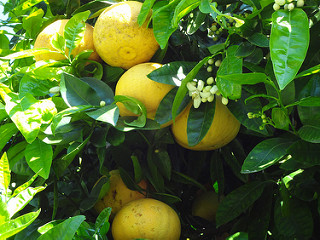 citrus peels inhibit bacteria