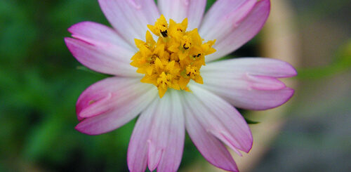 Cosmos caudatus treats diabetes and bone loss and HDL and LDL and inflammation and infections and others