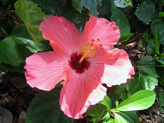 Hibiscus treats hypertension and urinary tract infections