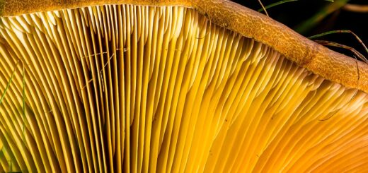 medicinal mushrooms fight cancer