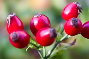 common cold rose hips severity