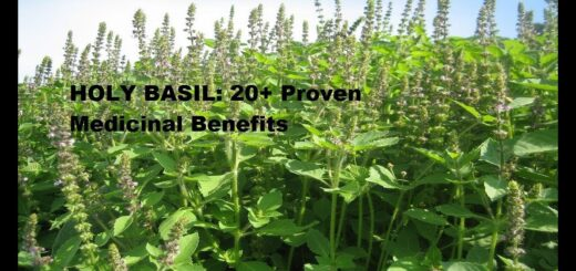 Holy basil health benefits