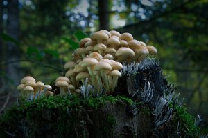 mushrooms prostate