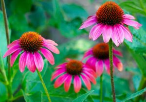 Echinacea for anxiety