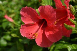 hibiscus breast cancer