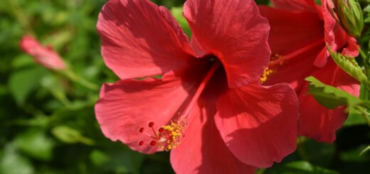 hibiscus breast cancer